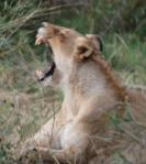 lion 218526
